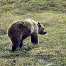 Grizzly Bear   Eagle Plains, Yukon   June, 2016