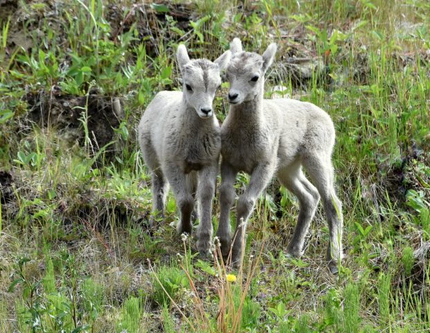 Stone Sheep – Lambs | Stone Mt., B.C. | June, 2016