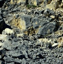 Dall Sheep – Ewes and Lamb | Eagle Plains, Yukon | June, 2016