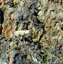 Dall Sheep – Ewe | Eagle Plains, Yukon | June, 2016