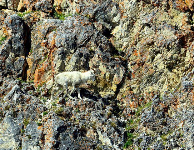 Dall Sheep – Ewe   Eagle Plains, Yukon   June, 2016