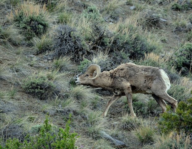 Bighorn Sheep – Ram | Cody, Wyoming | May, 2016