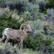 Bighorn Sheep – Ram| Cody, Wyoming | May, 2016