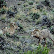 Bighorn Sheep – Rams | Cody, Wyoming | May, 2016