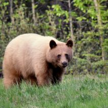 Black Bear | Haines  Jct., Yukon | May, 2016