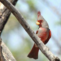 Pyrrhuloxia – Male | Portal, Arizona | March, 2017