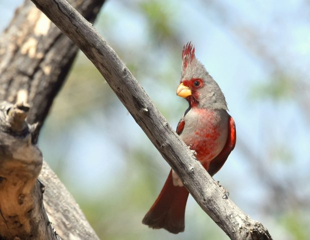 Pyrrhuloxia – Male | Portal, Arizona | March, 2017