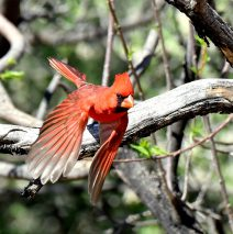 Northern Cardinal – Male | Portal, Arizona| March, 2017