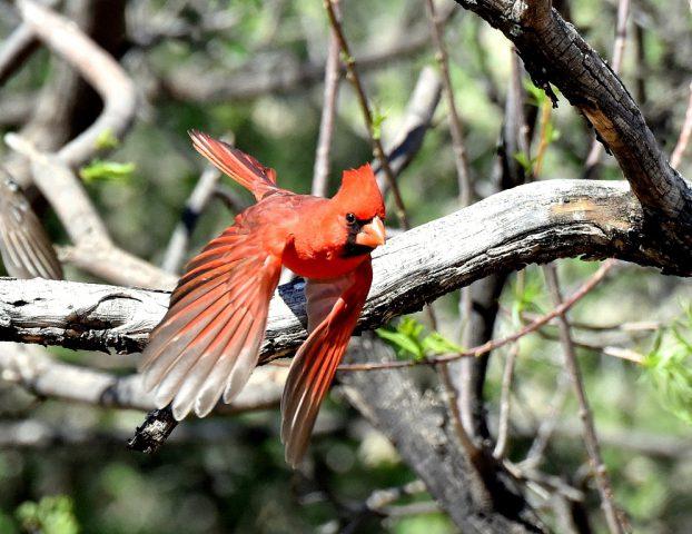 Northern Cardinal – Male | Portal, Arizona| March, 2017