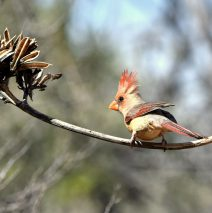 Northern Cardinal – Female   Portal, Arizona   March, 2017