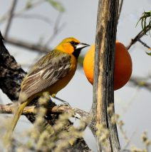 Streaked-back Oriole – Female | Portal, Arizona | March, 2017