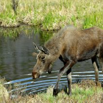 Moose – Bull | Grand Lake, Colorado | June, 2017