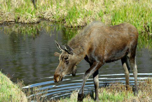 Moose – Bull | Walden, Colorado | June, 2017