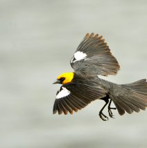 Yellow-headed Blackbird – Male | Walden, Colorado | June, 2017