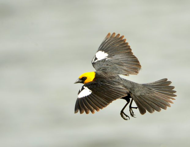 Yellow-headed Blackbird – Male | Walden, Colorado | June, 2017