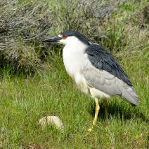 Black-crowned Night- Heron | Walden, Colorado | June, 2017