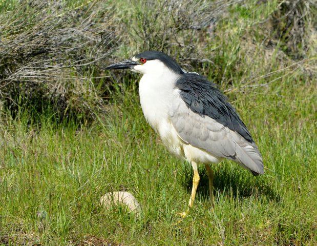 Black-crowned Night- Heron | Walden, Colorado | June, 2017