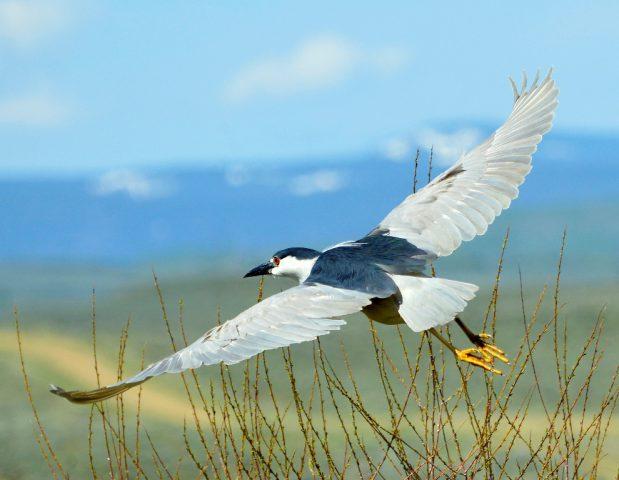 Black-crowned Night-Heron | Walden, Colorado | June, 2017