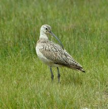 Long-billed Curlew | Walden, Colorado | June, 2017