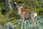Mule Deer – Buck | Walden, Colorado | June, 2017