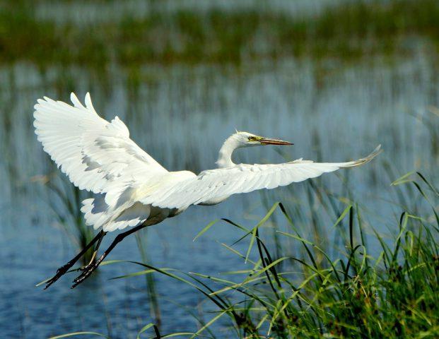 Great Egret | Bosque del Apache | May, 2017