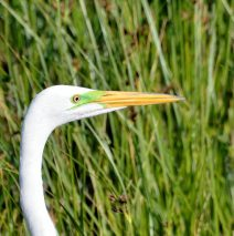 Great Egret | Bosque del Apache | May, 2017