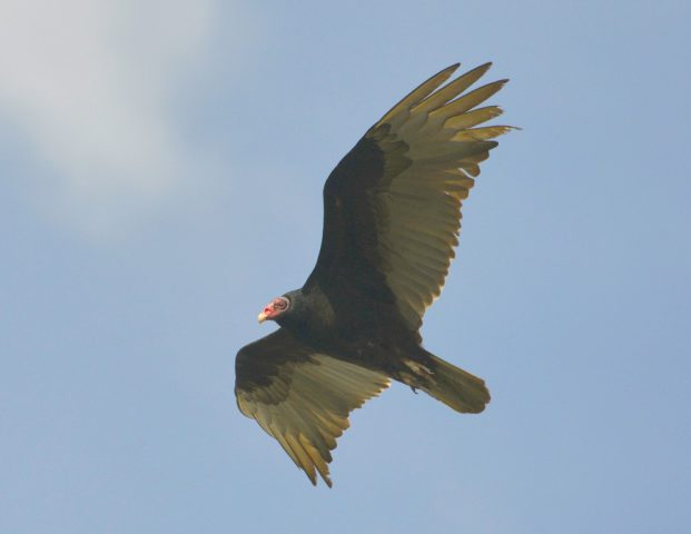 Turkey Vulture | Bosque del Apache | May, 2017