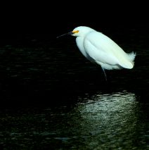 Snowy Egret | Bosque del Apache | May, 2017