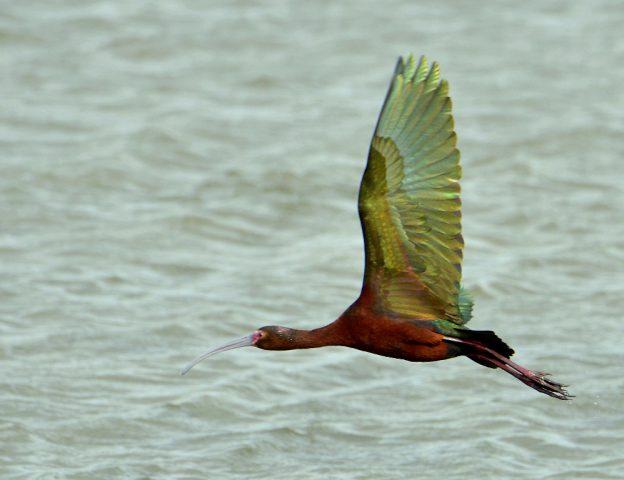 White-faced Ibis | Bosque del Apache | May, 2017