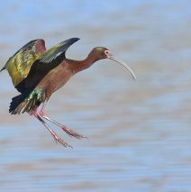 White-faced Ibis | Bosque del Apache | May, 2017