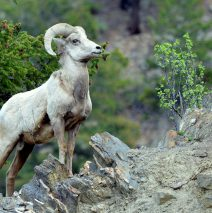Bighorn Sheep – Ram | Georgetown, Colorado | June, 2017