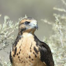 Swainson's Hawk – Juvenile | Estancia, N.M. | August, 2017