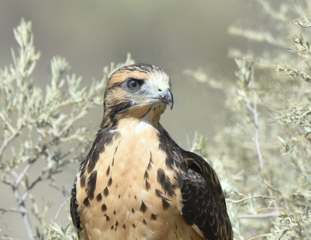 Swainson's Hawk – Juvenile | Estancia, N.M. | August, 2017