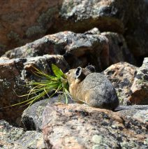 American Pika | Georgetown, Colorado | August, 2017