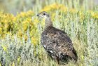 Greater Sage Grouse | Walden, Colorado | August, 2017