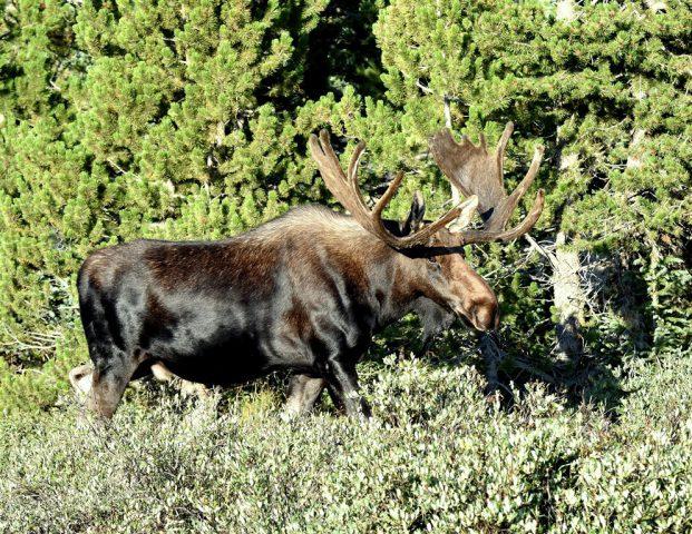 Moose – Bull | Walden, Colorado | August, 2017