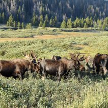 Moose – Bulls | Walden, Colorado |August, 2016