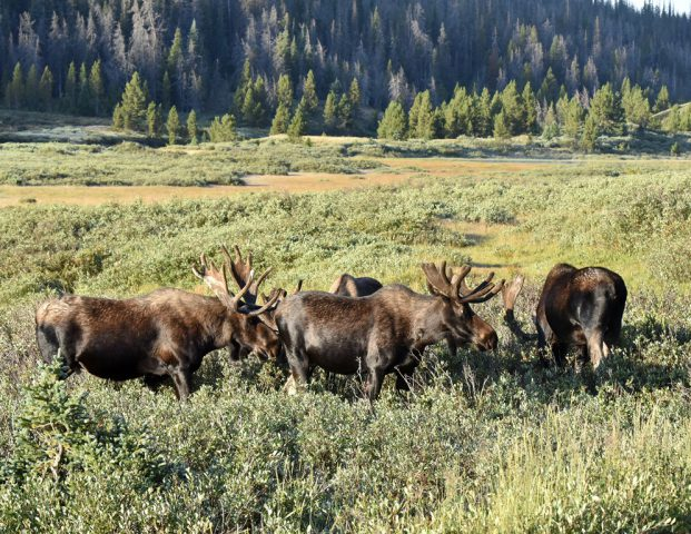 Moose – Bulls | Walden, Colorado |August, 2017