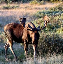 Moose – Bull | Walden, Colorado | August, 2016