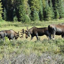 Moose – Bulls | Walden,Colorado | August, 2016