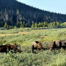 Moose – Bulls | Walden, Colorado | August, 2016