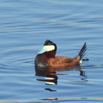 Ruddy Duck – Male | Alamosa, Colorado | May, 2017