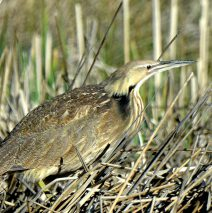 American Bittern | Alamosa, Colorado | May, 2017
