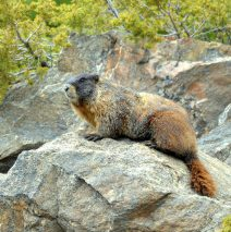 Marmot – Yellow-bellied | Georgetown, Colorado | June, 2017