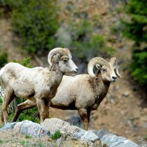 Bighorn Sheep – Rams | Grorgetown, Colorado | June, 2017