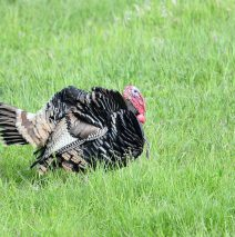 Wild Turkey – Gobbler | Sheridan, Wyoming | May, 2015