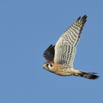 American Kestrel | Estancia, New Mexico | Dec. 2017