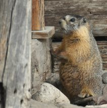 Marmot – Yellow-bellied | Walden, Colorado | May, 2018
