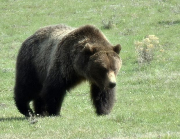 Grizzly Bear | Yellowstone Nat. Park | May, 2018