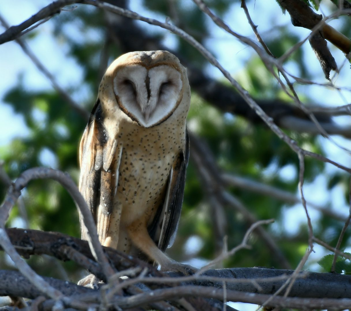Barn Owl | Estancia, New Mexico | July, 2018